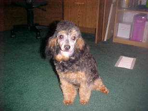 Black and Red Toy<BR> Phantom Poodle