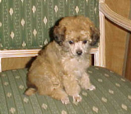 Apricot Sable TinyToy Poodle Female