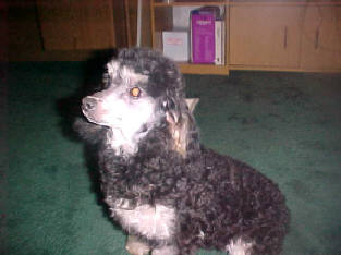 Black and White Toy<BR> Phantom Poodle