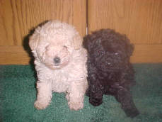 Eight week Tiny Toy Poodles In Solid Colors of Creme & Black
