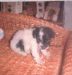Tiny Toy Black/White Parti Poodle