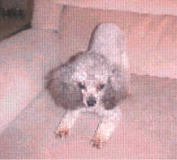 Tiny Toy Poodles Silver Female