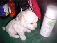 Tiny Toy Poodles White Female 8 wks.
