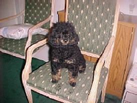 Black/Tan Phantom Poodle Adult