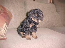 Black/Tan Phantom Poodle Adult puppy