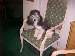 Black/White Harlekin Miniature Poodle Male at 2 years of age