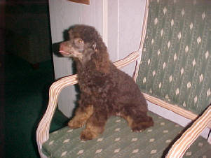 Brown/Red Phantom Toy Poodle Male