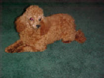 Red Toy Poodle female at 2 years