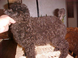 Brown Miniature Poodle Male at 8 wks