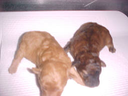 Brindle Male & Red Female TinyToy Poodles in same litter