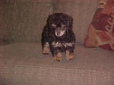 8 week Toy Poodle Brown/Creme Phantom Poodle