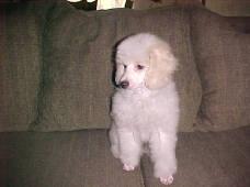3 month female Miniature Poodles Apricot /White Parti
