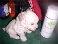 Tiny Toy Poodles White Female 8 wks.