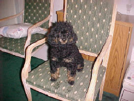 Black/Tan Phantom Poodle Adult