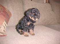 Black/Tan Phantom Poodle Adult puppy