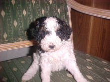 Tri-Color Male Mini Miniature Poodles<BR> in Parti (Harlekin) color