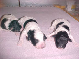 Litter of Miniature Poodles in Parti (Harlekin) color