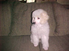 3 month female Miniature Poodles Apricot /White Parti