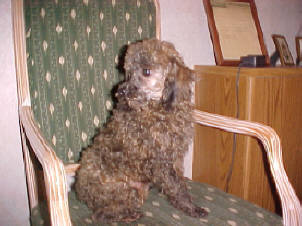 2 year Brindle Poodle male